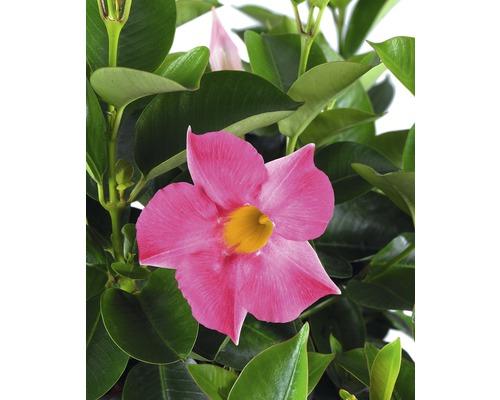 Trichterblüte FloraSelf Dipladenia mandevilla 'Summer Bell' Ø 10,5 cm Topf