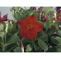 Trichterblüte FloraSelf Dipladenia mandevilla 'Summer B Right' Ø 10,5 cm Topf