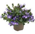 Glockenblume FloraSelf Campanula addenda 'Adansa Purple' Ø 12 cm Topf