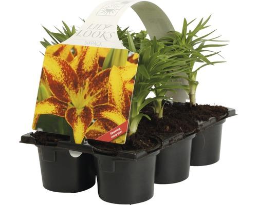Lilien FloraSelf Lilium x Hybride Ø 9 cm Topf 6 Stk