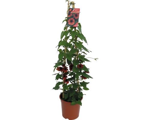 Rote Schwarzäugige Susanne Pyramide FloraSelf Thunbergia alata Gesamthöhe ca. 90 cm Ø 19 cm Topf