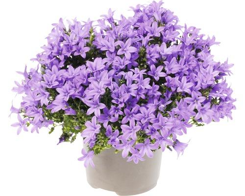 Glockenblume FloraSelf Campanula portenschlagiana 'Lavender' Ø 20 cm Topf