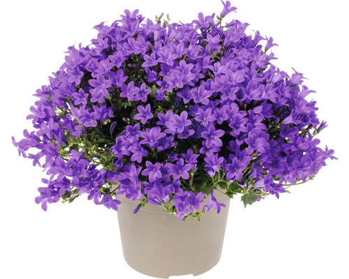Glockenblume FloraSelf Campanula portenschlagiana 'Intens Purple' Ø 20 cm Topf