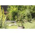 Tomaten-Rankturm FloraSelf 150x30 cm grün