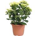 Hortensie Hydrangea macrophylla 'Hovaria ® Holibel' (S) H 30-40 cm Co 4,6 L