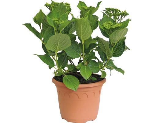 Hortensie Hydrangea macrophylla 'Hovaria ® Elleair Anniversary' (S) H 30-40 cm Co 4,6 L