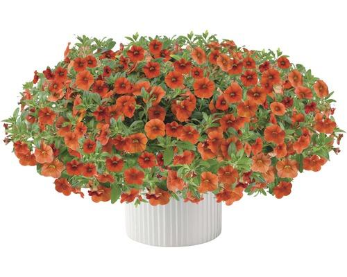 Zauberglöckchen FloraSelf Calibrachoa Hybride 'Colibri Orange' Ø 12 cm Topf