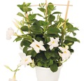 Trichterblüte FloraSelf Dipladenia mandevilla-Cultivars 'Summer Bell Bright White' Ø 10,5 cm Topf