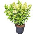 Rispenhortensie Hydrangea paniculata 'Magical Candle' ® H 50-60 cm Co 5 L