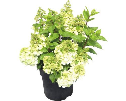 Rispenhortensie Hydrangea paniculata 'Magical Mont Blanc' ® H 50-60 cm Co 5 L