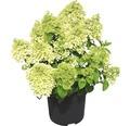 Rispenhortensie Hydrangea paniculata 'Bobo'® H 50-60 cm Co 6 L