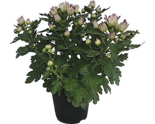 Chrysantheme Chrysanthemum indicum Ø 10,5 cm Topf zufällige Sortenauswahl