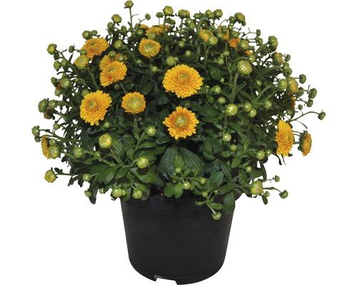 Chrysantheme FloraSelf Chrysanthemum indicum H 30-40 cm Ø 17 cm Topf zufällige Sortenauswahl