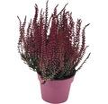 Knospenheide, Heidekraut Calluna vulgaris gefärbt Ø 10 cm Topf