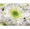 Chrysantheme FloraSelf Chrysanthemum indicum 'Picnic' Ø 12 cm Topf