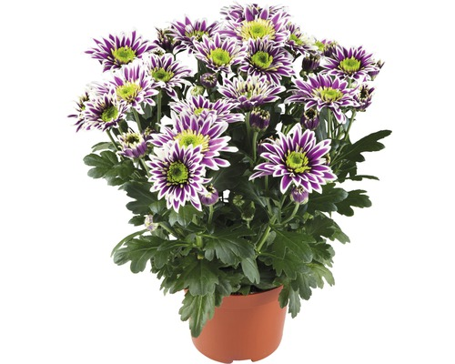 Chrysantheme FloraSelf Chrysanthemum indicum 'Saba' Ø 12 cm Topf