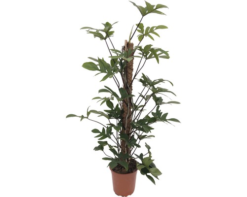 Philodendron FloraSelf Philodendron pedatum H 110-120 cm Ø 24 cm Topf