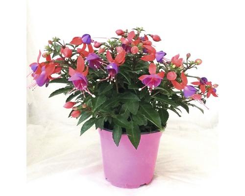Fuchsie FloraSelf Fuchsia-Cultivars Ø 14 cm Topf