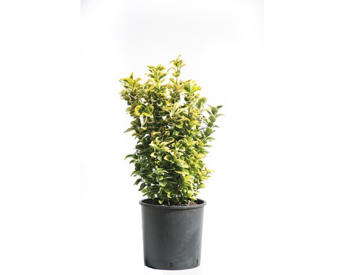 Spindelstrauch FloraSelf Euonymus japonicus 'Aureus' H 40-60 cm Co 10 L