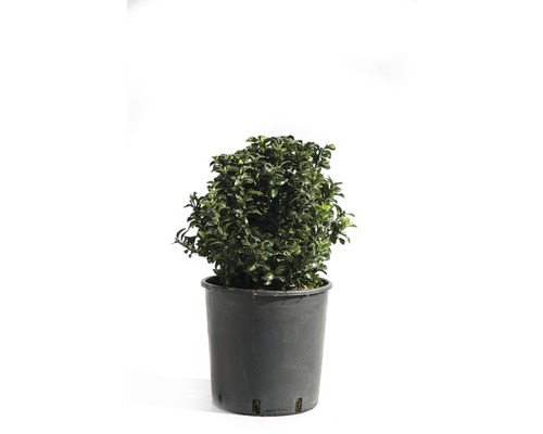 Spindelstrauch Kugel FloraSelf Euonymus japonicus 'Green Spire' H 20-25 cm Co 9 L