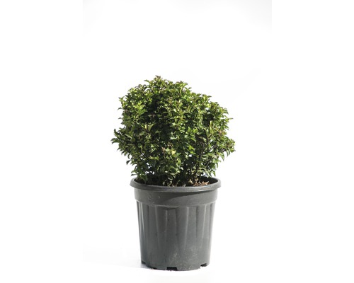 Stechpalme Kugel FloraSelf Ilex meserveae 'Little Rascal' H 20-25 cm Co 9 L