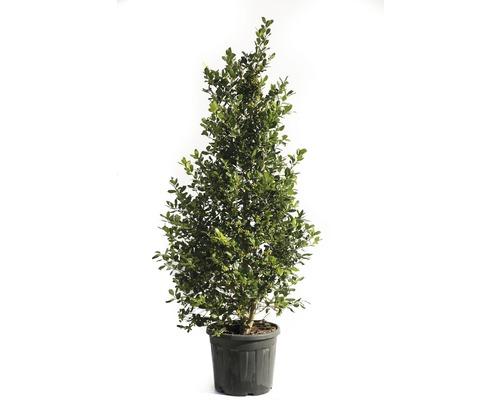 Stechpalme FloraSelf Ilex mutchagara 'Nellie R.Stevens' H 175-200 cm Co 55 L