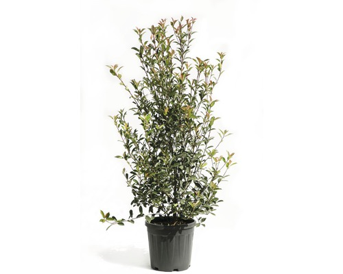 Glanzmispel FloraSelf Photinia fraseri 'Robusta Compacta' H 130-150 cm Co 20 L