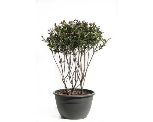 Glanzmispel FloraSelf Photinia fraseri 'Robusta Compacta' H 100-120 cm Co 50 L