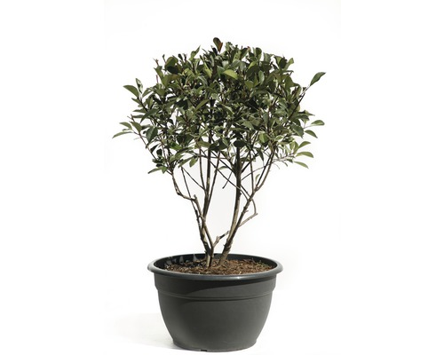 Glanzmispel FloraSelf Photinia fraseri 'Pink Marble' H 100-120 cm Co 50 L