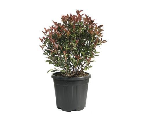 Glanzmispel Kugel FloraSelf Photinia fraseri 'Robusta Compacta' H 40-50 cm Co 18 L