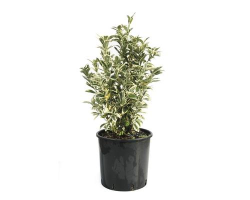 Spindelstrauch FloraSelf Euonymus japonicus 'Bravo' H 40-60 cm Co 10 L