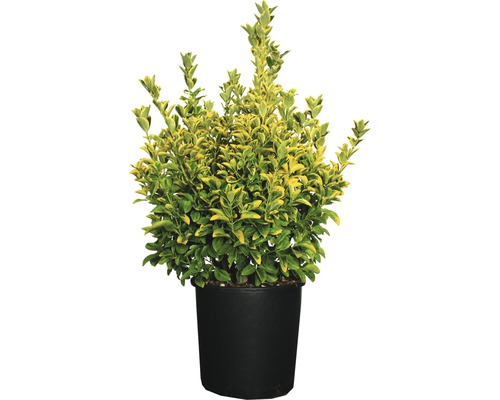 Spindelbaum FloraSelf Euonymus japonicus 'Elegans Aurea' Co 10 L