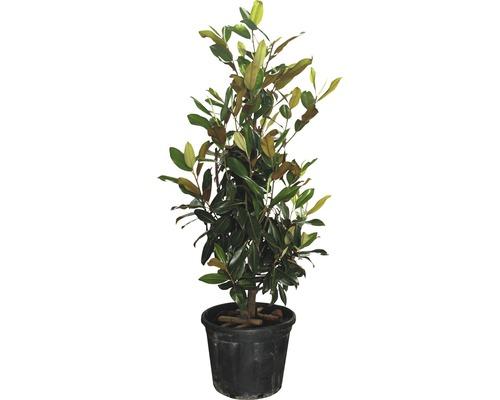 Immergrüne Magnolie FloraSelf Magnolia grandiflora 'Gallisoniensis' H 125-150 cm Co 35 L