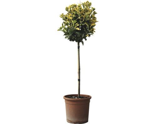 Spindelstrauch Stämmchen FloraSelf Euonymus japonicus 'Elegantissima Aurea' H 50 cm Co 5 L