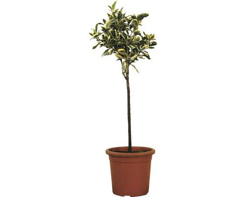 Spindelstrauch Stämmchen FloraSelf Euonymus japonicus 'Bravo' H 50 cm Co 5 L