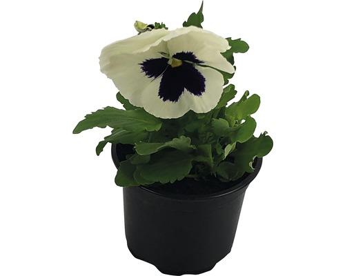 Stiefmütterchen Viola wittrockiana Ø 9 cm Topf zufällige Sortenauswahl