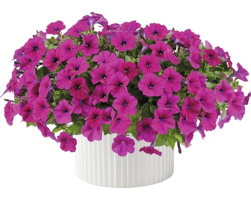 Petunie FloraSelf Petunia 'Capella Burgundy' Ø 12 cm Topf