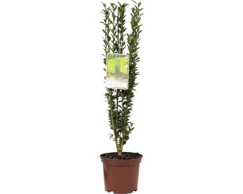 Säulen Bergilex FloraSelf Ilex crenata 'Fastigiata' H 30-40 cm Co 2 L
