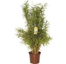 aufrechte Gartenbambus FloraSelf Fargesia murielae 'Jumbo' H 60-80 cm Co 7,5 L