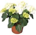 Gartenhortensie, Bauernhortensie FloraSelf Hydrangea macrophylla H 33-38 cm Co 2,5 L weiß