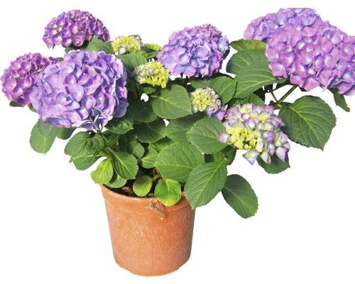 Gartenhortensie, Bauernhortensie FloraSelf Hydrangea macrophylla H 33-38 cm Co 2,5 L blau