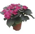 Gartenhortensie, Bauernhortensie FloraSelf Hydrangea macrophylla H 33-38 cm Co 2,5 L rot
