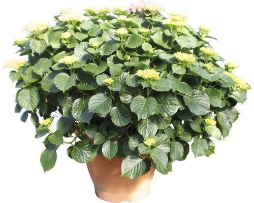 Gartenhortensie, Bauernhortensie FloraSelf Hydrangea macrophylla H 50-60 cm Co rot