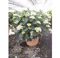 Gartenhortensie, Bauernhortensie FloraSelf Hydrangea macrophylla H 50-60 cm Co weiß
