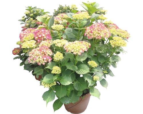 Gartenhortensie, Bauernhortensie FloraSelf Hydrangea macrophylla H 55-60 cm Co 18 L rot