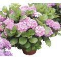 Gartenhortensie, Bauernhortensie FloraSelf Hydrangea macrophylla H 55-60 cm Co 18 L rosa