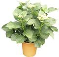 Gartenhortensie, Bauernhortensie FloraSelf Hydrangea macrophylla H 40-45 cm Co 9 L weiß