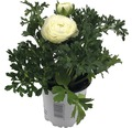 Ranunkeln Ranunculus Ø 11 cm Topf sortiert