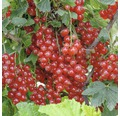 rote Johannisbeere Hof:Obst Ribes rubrum 'Rondom' H 30-40 cm Co 3,4 L