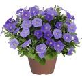 Hängepetunie FloraSelf Petunia x atkinsiana 'Blue Ray' Ø 12 cm Topf